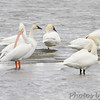 Tundra Swans and <br /> American White Pelicans <br /> Ellis Bay <br /> Riverlands Migratory Bird Sanctuary