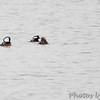 Hooded Mergansers <br /> Teal Pond <br /> Riverlands Migratory Bird Sanctuary