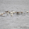 Tundra and Trumpeter Swans <br /> American White Pelicans <br /> Ellis Bay <br /> Riverlands Migratory Bird Sanctuary