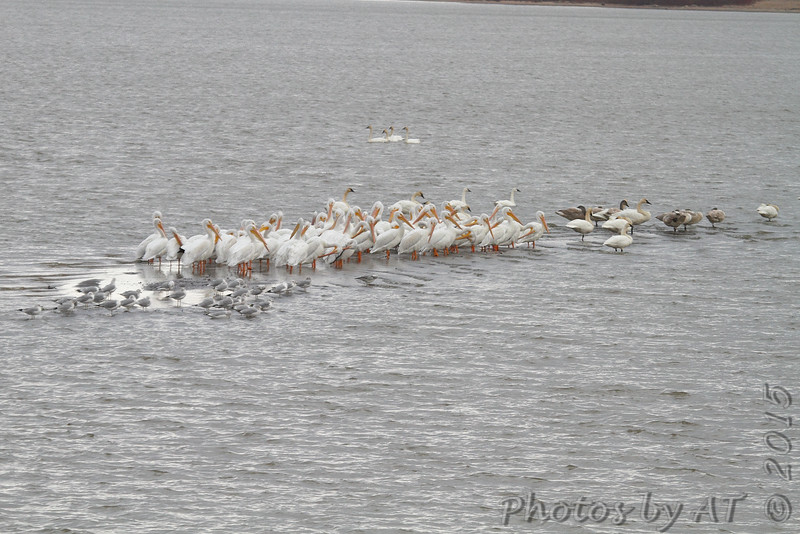 Tundra and Trumpeter Swans <br /> American White Pelicans and Ring-billed Gulls <br /> Ellis Bay <br /> Riverlands Migratory Bird Sanctuary