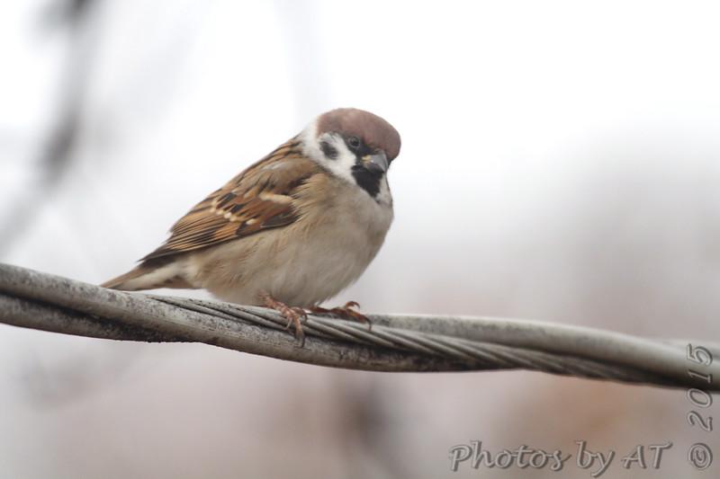 Eurasian Tree Sparrow <br /> Bridgeton, MO <br /> 11/28/15