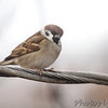 Eurasian Tree Sparrow <br /> Bridgeton, MO <br /> 11/28/15