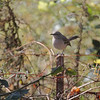 Northern Mockingbird <br /> Bridgeton, MO <br /> 11/19/15