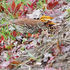 Brown Thrasher <br /> Bridgeton, MO <br /> 11/27/15