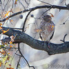 Red-shouldered Hawk <br /> Bridgeton, MO <br /> 11/19/15