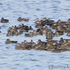Blue-winged Teal <br /> Ellis Bay <br /> Riverlands Migratory Bird Sanctuary