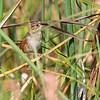 Swamp Sparrow  <br /> Riverlands Migratory Bird Sanctuary