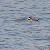 Ruddy Duck <br /> Teal Pond <br /> Riverlands Migratory Bird Sanctuary
