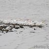 American White Pelicans <br /> Ellis bay <br /> Riverlands Migratory Bird Sanctuary