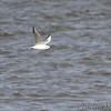 Bonaparte's Gull <br /> Riverlands Migratory Bird Sanctuary