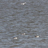 Franklin's Gulls <br /> Riverlands Migratory Bird Sanctuary