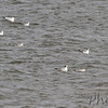 Franklins' Gulls <br /> and one each Ring-billed and Bonaparte's Gull <br /> Ellis Bay <br /> Riverlands Migratory Bird Sanctuary