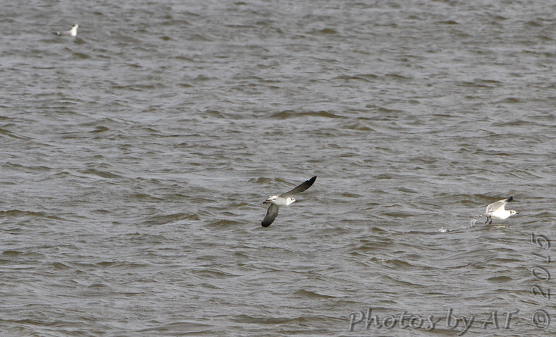 Franklin's Gulls <br /> Riverlands Migratory Bird Sanctuary