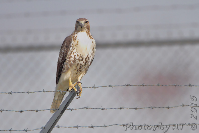 Red-tailed Hawk <br /> On the way to Riverlands on airport fence <br /> Bridgeton, MO