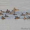 Ruddy Ducks and<br /> Northern Shoveler <br /> Ellis Bay <br /> Riverlands Migratory Bird Sanctuary