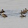 Click main photo above for pano <br /> Ruddy Ducks <br /> Ellis Bay <br /> Riverlands Migratory Bird Sanctuary