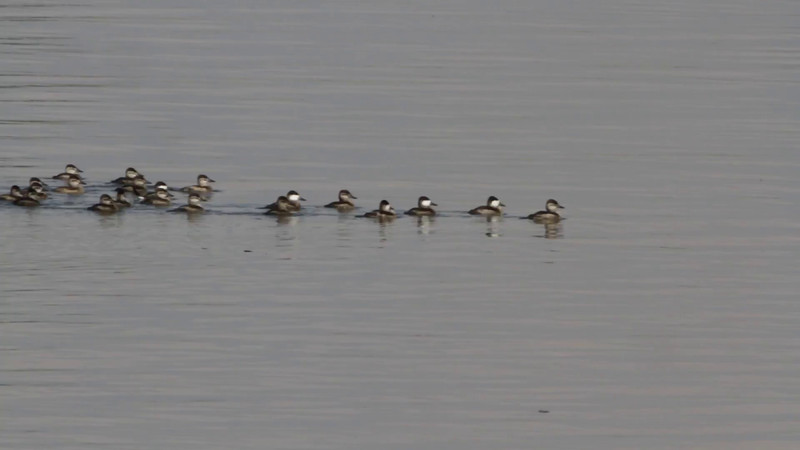 """Ruddy Ducks <br> Ellis Bay <br> Riverlands Migratory Bird Sanctuary  <br><br>  <span class=""""noShowSmart""""> <a href=""""/MyKeywords/Bird-Videos/n-gF9bt/i-P6FjxP9/A""""> <span style=""""color:yellow"""">Click here to open video in lightbox/full screen</span></a> </span>  <span class=""""noShowGallery""""> <a href=""""/Birds/2015-Birding/Birding-2015-October/2015-10-22-RMBS/i-P6FjxP9/A""""> <span style=""""color:yellow"""">Click here to open video in lightbox/full screen</span></a> </span>"""