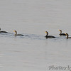 Double-crested Cormorants <br /> Ellis Bay <br /> Riverlands Migratory Bird Sanctuary