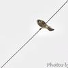 American Kestrel <br /> Wise Road <br /> Riverlands Migratory Bird Sanctuary <br /> 10/24/15