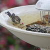 Yellow-rumped Warbler<br /> Bridgeton, MO <br /> 10/24/15