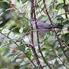 Gray Catbird <br /> Bridgeton, MO <br /> 10/03/15