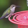 Ruby-throated Hummingbird <br /> Bridgeton, MO <br /> 10/08/15
