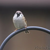 Eurasian Tree Sparrow <br /> Bridgeton, MO <br /> 10/03/15