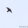European Starling <br /> Bridgeton, MO <br /> 10/20/15