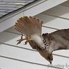 Red-tailed Hawk <br /> Bridgeton, MO <br /> 10/24/15