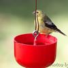 American Goldfinch <br /> Bridgeton, MO <br /> 10/02/15