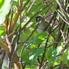 Eurasian Tree Sparrow <br /> Bridgeton, MO <br /> 10/02/15