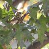 What is this bird?<br /> Bridgeton, MO <br /> 10/17/15