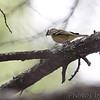 Blue-headed Vireo  <br /> Bridgeton, MO <br /> 10/06/15