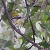 Black-throated Green Warbler <br /> Bridgeton, MO <br /> 10/06/15