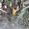 Common Yellowthroat <br /> Bridgeton, MO <br /> 10/20/15
