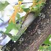 Chipping Sparrow <br /> Bridgeton, MO <br /> 10/17/15