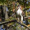 Red-tailed Hawk <br /> Carrolton Subdivision <br /> Bridgeton, MO <br /> 10/15/15