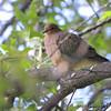 Mourning Dove <br /> Bridgeton, MO <br /> 10/02/15