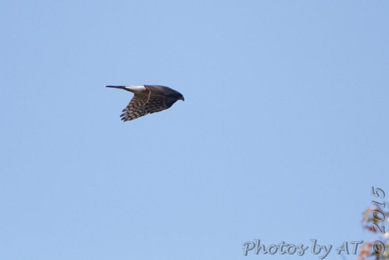 Northern Harrier <br /> Bridgeton, MO <br /> 10/17/15