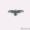 Red-tailed Hawk <br /> Bridgeton, MO <br /> 10/06/15