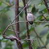 Ruby-throated Hummingbird <br /> Bridgeton, MO <br /> 10/04/15