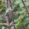 Ruby-throated Hummingbird <br /> Bridgeton, MO <br /> 10/02/15