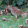 Brown Thrasher <br /> Bridgeton, MO <br /> 10/03/15