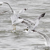 Franklin's Gull <br /> Ring-billed Gulls<br /> Carlyle Lake