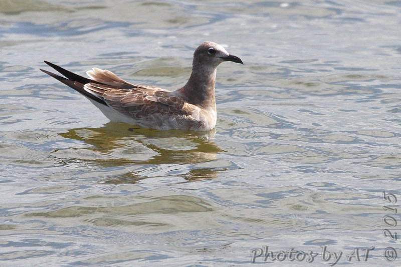 Laughing Gull (juvenile) <br /> Carlyle Lake