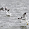 Franklin's Gull (1st winter) •  Laughing Gull? or another Franklin's?<br /> Ring-billed Gulls <br /> Carlyle Lake