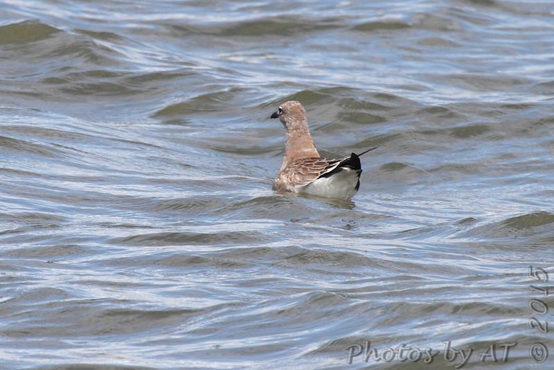 Laughing Gull (juvenile) <br /> Carlyle Lake