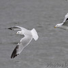 Ring-billed Gulls <br /> Carlyle Lake
