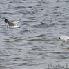 Franklin's Gull (1st winter) <br /> Ring-billed Gulls <br /> Carlyle Lake