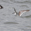 Franklin's Gull <br /> Carlyle Lake
